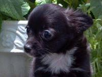 AKC long-coat Black female toy size Chihuahua. May stay