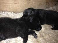 We have adorable 2 huge all black males available!! We