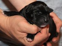 Black Male Great Dane Young puppy Born 4-4-14. Our