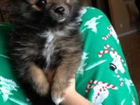 Hello, I have a 10 month old black male Pomeranian