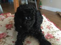 We have Akc black poodle readily available all the