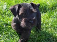 Beautiful solid Black AKC Mini Schnauzer puppy. Mom is