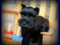 This is Ash, AKC Miniature Schnauzer puppy strong black
