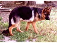 AKC BLACK & RED GERMAN SHEPHERD FEMALE * 7 MONTHS OLD *