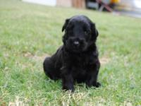 Beautiful Black Russian Terrier Pups for sale. These