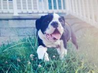 AKC Black Seal Male English Bulldog Puppy, could
