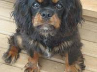 I HAVE TWO MALE BLACK/TAN CAVALIER KING CHARLES PUPPIES