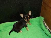 AKC Black and Tan Male Chihuahua.Smooth coat.