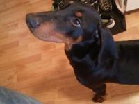 6 month old black and tan male doberman. Has has puppy