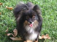 AKC black & & tan, DOB 10/2011, proven, weighs about