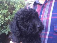 We have a toy and another miniature poodle puppy form 2