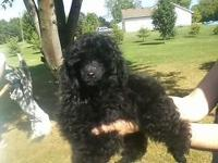 15 week old AKC male toy Poodle puppy dewclawed, tail