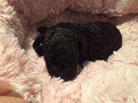 I have 2 female and 1 male black AKC toy poodle pups