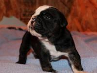 ***AKC Black Tri English Bulldog Male with an
