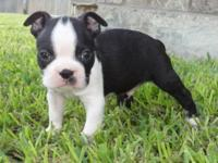 This sweet little Boston Terrier is looking for a