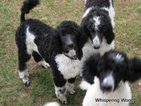 Beautiful black and white poodles-6 months old,