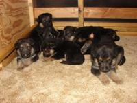 AKC (Old German Bloodlines) Puppies born 3/24/15. 4