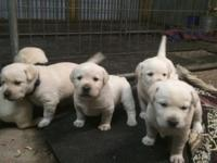 Puppies Due June 15, 2015: All Yellow Blockhead Line.