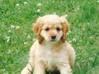 AKC registered blonde female cocker spaniel puppy $450