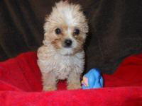 AKC signed up male blonde yorkie. Weighs five pounds.