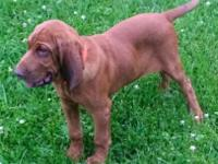 14wk old male AKC Bloodhound. Current on vaccines. Will