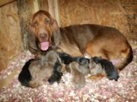 AKC registered bloodhound young puppies. Whelped