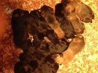AKC Bloodhound puppies born on 11-17-2013. These pups