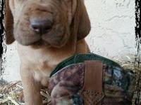 Gorgeous liver and tan colored AKC Bloodhound Puppies.