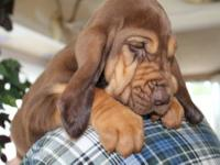 AKC Bloodhound Puppy 1 Black and tan Female Beautiful