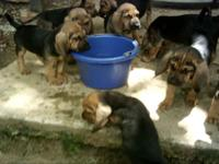 Bloodhound pups, AKC (CKC eligible); black & & tan;