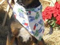 Beautiful AKC Bloodhound Pups Black & Tan. 5 Females 4