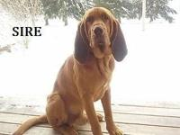 . AKC Bloodhound Pups - Red: 7 ladies and 3 male.