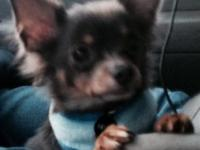 I have a male blue and tan long hair chihuahua puppy
