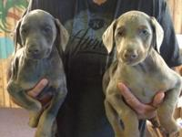 I have 5 blue and fawn 1/2 euro Doberman pups for sale