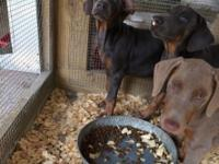 REDUCED to find good homes!! I still have 6 Doberman