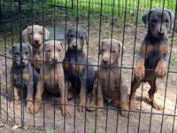 I have six beautiful Doberman puppies that will be