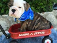 Beautiful AKC English bulldog puppy brindle male, this