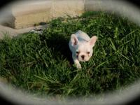 I have 3 French bulldog puppies for sale. They were