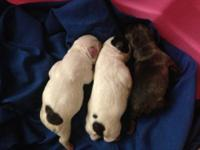 3 Gorgeous little boys... one blue brindle, one white