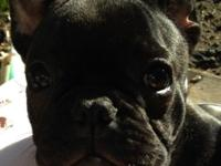 AKC guy Blue Carrier French Bulldog young puppy. He is