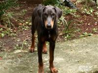 Blue is a blue male doberman. He is AKC registered and