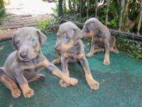 AKC Registered Blue Doberman young puppies for sale.