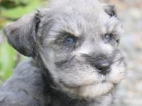 AKC Blue eyed Supercoated Mini Schnauzer Male. This