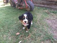 Black & White Tri male Australian Shepherd Puppy with
