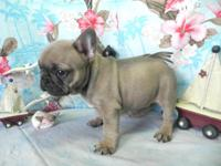 akc blue fawn French bulldog puppies. we have 2 males