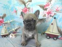 akc blue fawn French bulldog puppy. we have 1 male