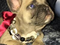 Beautiful Blue Fawn French Bulldog Male Puppy, he is