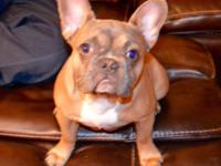AKC Blue Fawn Male French Bulldog 7 months old. He is