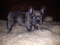 AKC french bulldog puppy born 8/31/2013. This puppy is