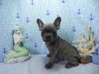 AKC BLUE FRENCH BULLDOG PUPPY MALE. HE IS 9 WEEKS OLD.